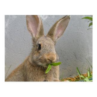 Cottontailウサギの郵便はがき ポストカード