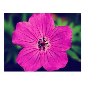Cranesbillの紫色の花 ポストカード