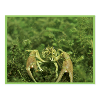 Crayfish ポストカード