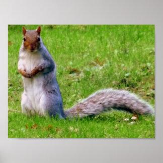 Curious Grey Squirrel ポスター