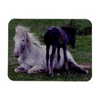 Dartmoor PonryGreyのロバの休息の子馬の地位 マグネット