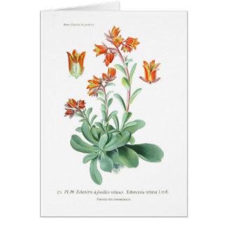 Echeveriaのretusa カード