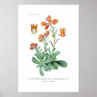 Echeveriaのretusa ポスター