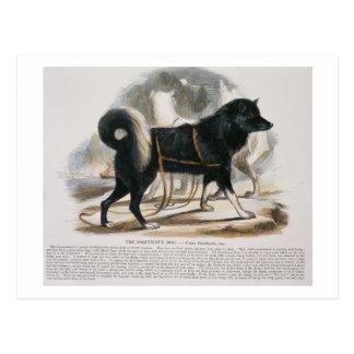 Esquimaux犬(イヌ属のfamiliaris)教育i ポストカード