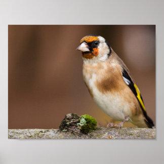 European goldfinch bird close up ポスター