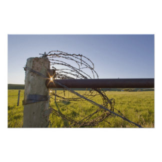 fencerowで近く転がられる有刺鉄線 ポスター