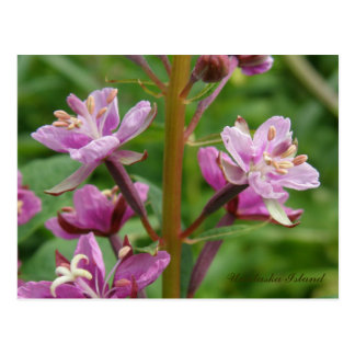 Fireweedの雑色の花、Unalaskaの島 ポストカード