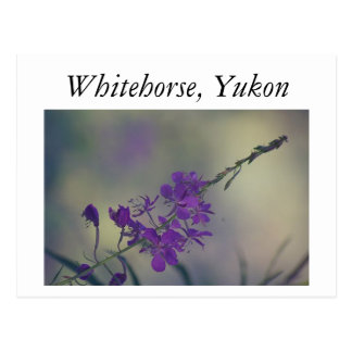 Fireweed、fox湖、Whitehorse、ユーコン準州 ポストカード