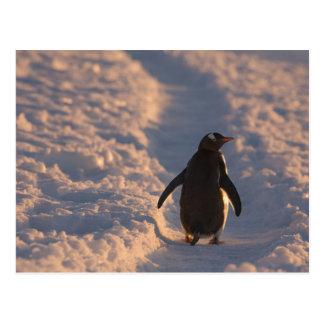 gentooのペンギンはaの間に残りのために休止します ポストカード