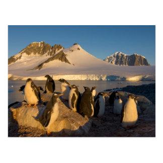 gentooのペンギン、Pygoscelisパプアのコロニー ポストカード
