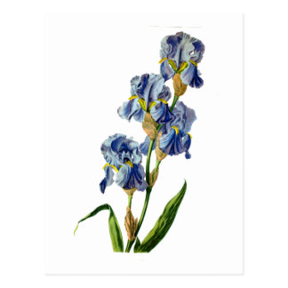 Gerard van Spaendonが自然から描く青いアイリス ポストカード