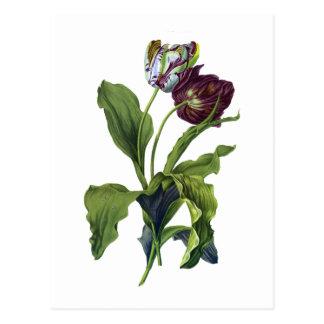 Gerard van Spaendonck著自然から描かれるチューリップ ポストカード