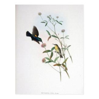Gould -エリコSunbird ポストカード