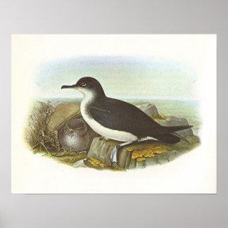 Gould - Manxミズナギドリ亜科- Procellariaのpuffinus ポスター