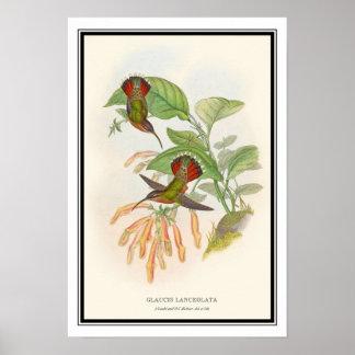 Gould-Richterのヴィンテージの隠者のハチドリ ポスター