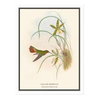 Gould-Richterのヴィンテージの隠者のハチドリ ポストカード