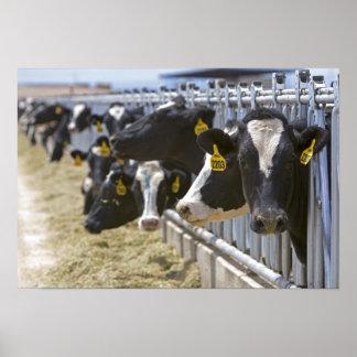Grandview、アイダホの飼育用地の乳牛 ポスター