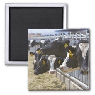 Grandview、アイダホの飼育用地の乳牛 マグネット