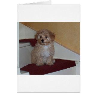 havanese puppy.png カード