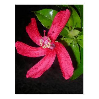 hibiscus rouge ポストカード