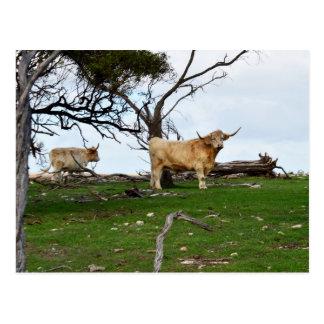 Highland_Cow_Country、_ ポストカード