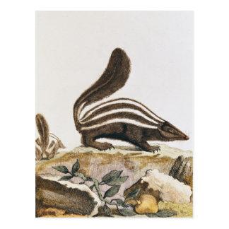 「Histoire Naturelle」からのスカンク、 ポストカード