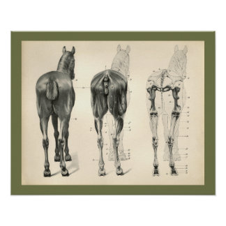 Horse Veterinary Skeletal Muscle Anatomy Print ポスター