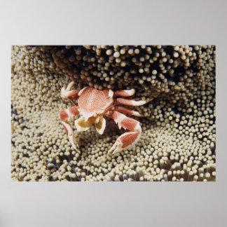 Indo太平洋の海、アネモネのカニのクローズアップ ポスター