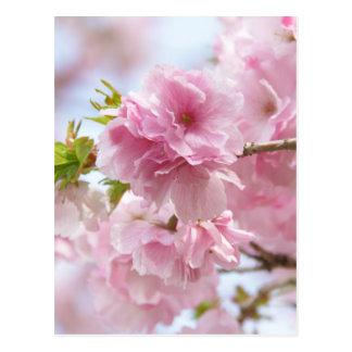 Japanese cherry blossoms ポストカード