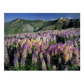 JARBIDGEの荒野、ネバダ。 米国. 拍車のlupine ポストカード