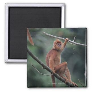 Javanの黒い葉猿(Trachypithecusのauratus) マグネット
