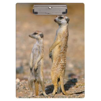 Karas、Meerkat (Suricata Suricatta)の歩哨 クリップボード