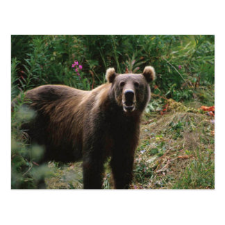 Kodiakのヒグマ ポストカード