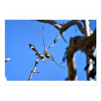 KOOKABURRA田園クイーンズランドオーストラリア ポストカード