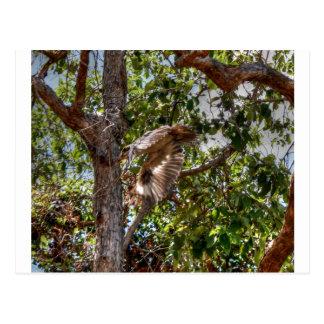 KOOKABURRA飛行中にオーストラリアの芸術の効果 ポストカード