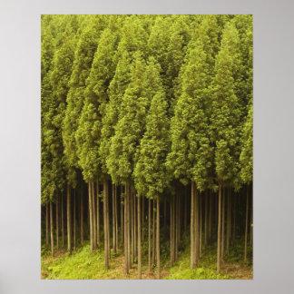 Koya Sugiのヒマラヤスギ木 ポスター