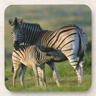 Kwazulu出生彼女の子馬を食べ物を与えている平野のシマウマ コースター