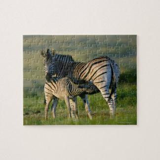 Kwazulu出生彼女の子馬を食べ物を与えている平野のシマウマ ジグソーパズル