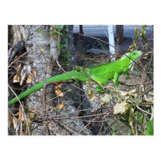 Laロマン、南トリニダードで日光浴をしているイグアナ ポストカード