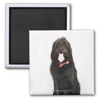 Labradoodle犬のポートレート マグネット