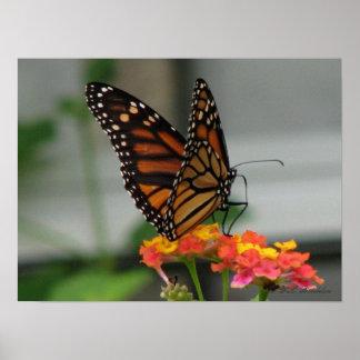 Lantanaの(昆虫)オオカバマダラ、モナーク ポスター