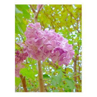 Lilac、紫丁香花(むらさきはしどい) ポストカード