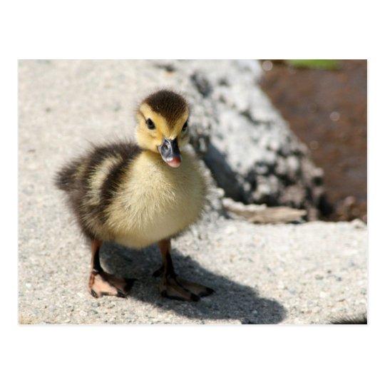 Little Duckling Postcard ポストカード