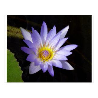 lotus bleu du Nil ポストカード