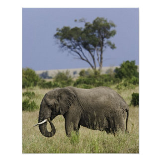、Loxodontaのafricana牧草を食べている、アフリカゾウ ポスター