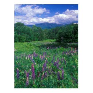 Lupinesの山ラファイエット ポストカード