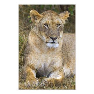 Maasaiの高い草を坐らせているライオン フォトプリント