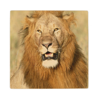 Maasaiマラの国立保護区、オスのライオン ウッドコースター