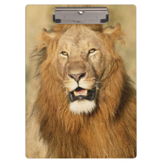 Maasaiマラの国立保護区、オスのライオン クリップボード