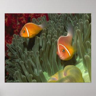 MagnificantのいそぎんちゃくのピンクのAnemonefish ポスター